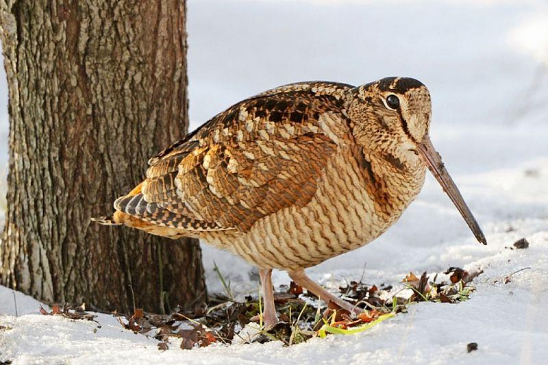 птица вальдшнеп фото талисманы